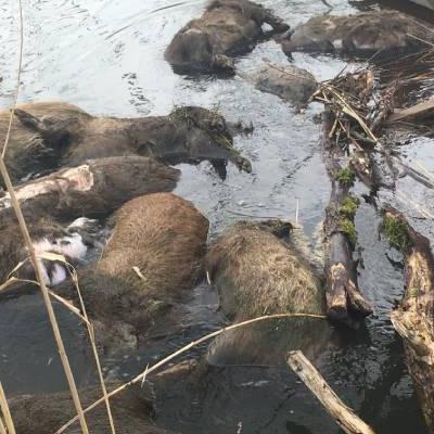 Dziki w wodzie
